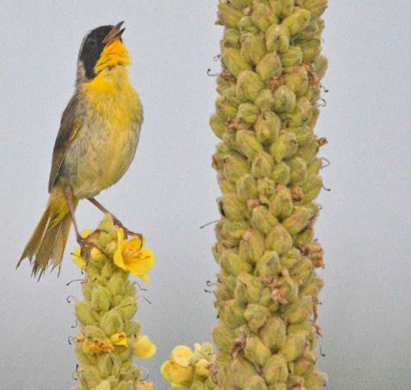 Common Yellowthroat 2019-1