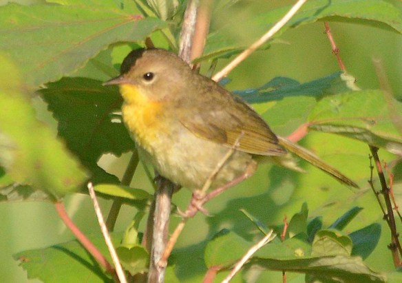 Common Yellowthroat 2019-4