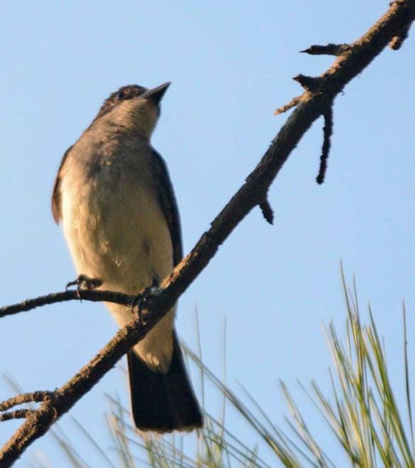 Eastern Kingbird 2019-3