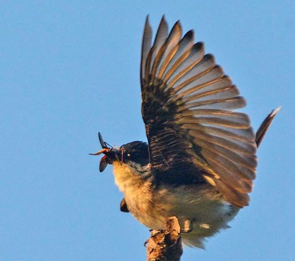 Eastern Kingbird 2019-6