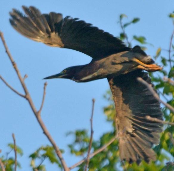 Green Heron 2019-10