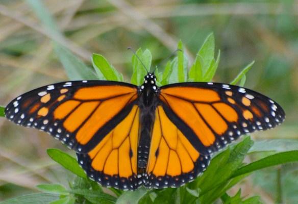 Monarch 63