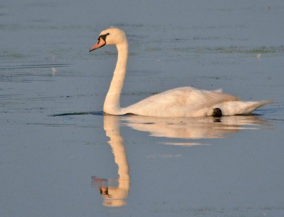 Mute Swan 2019-3