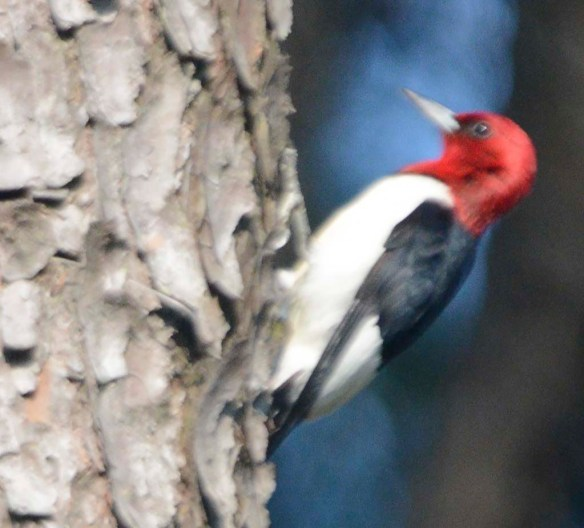 Red Headed Woodpecker 2019-13