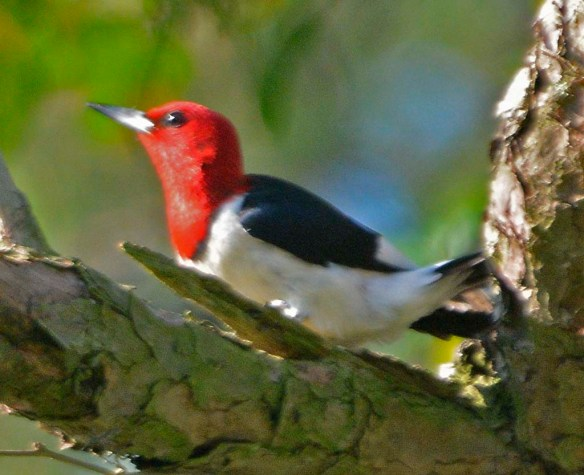 Red Headed Woodpecker 2019-17