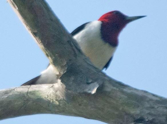 Red Headed Woodpecker 2019-18