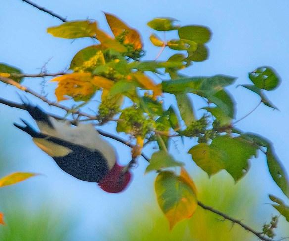 Red Headed Woodpecker 2019-20