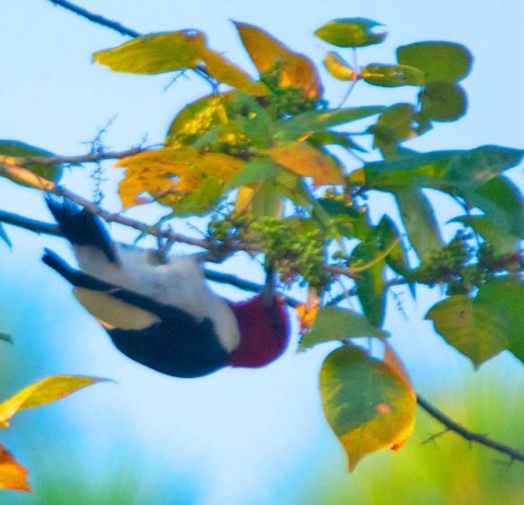Red Headed Woodpecker 2019-21