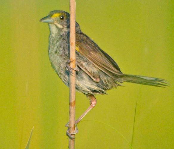 Seaside Sparrow 2019-3