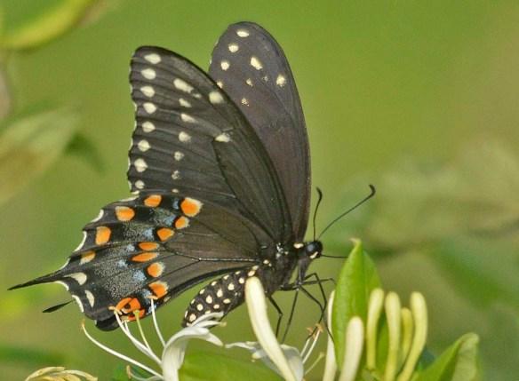 Spicebush Swallowtail 103