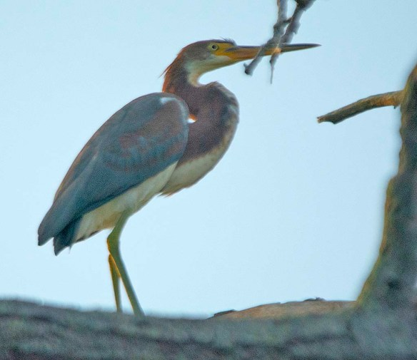 Tricolored Heron 2019-2