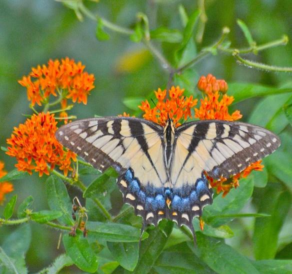 Western Tiger Swallowtail 104
