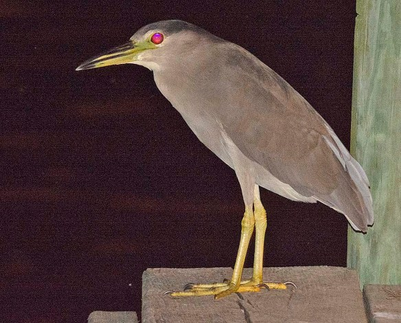 Black Crowned Night Heron 2019-8