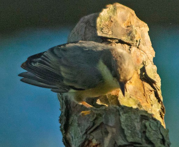Brown Headed Nuthatch 2019-2