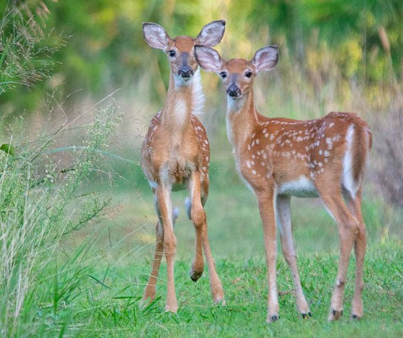 Deer-87