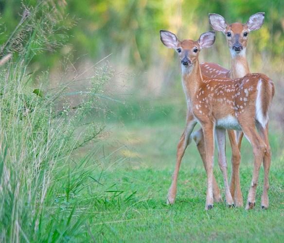 Deer-88