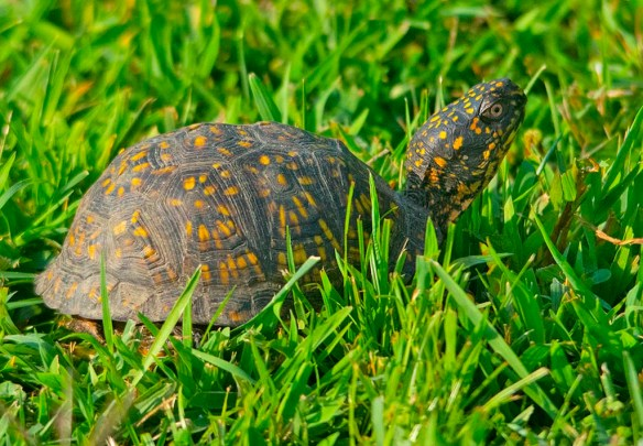Eastern Box Turtle 13