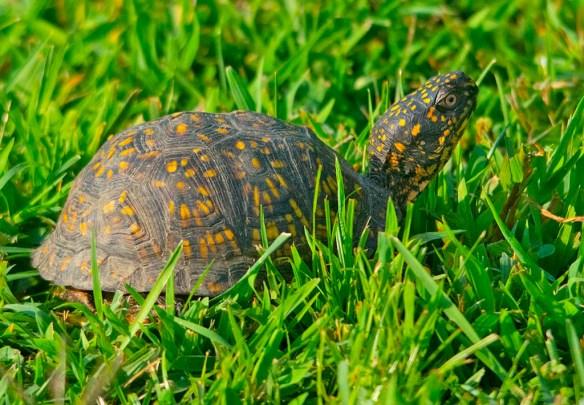Eastern Box Turtle 13