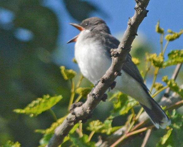 Eastern Kingbird 2019-8