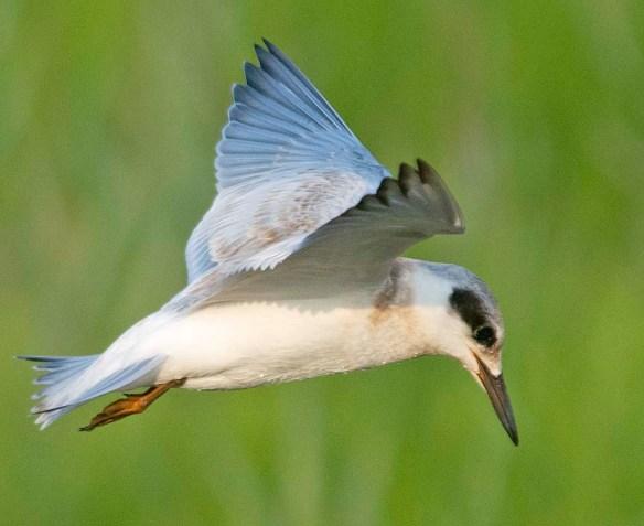 Forster's Tern 2019-18