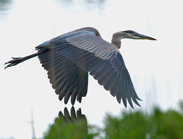 Great Blue Heron 2019-27