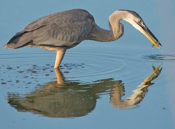 Great Blue Heron 2019-31
