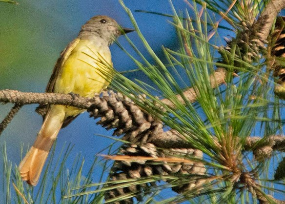 Great Crested Flycatcher 2019-108
