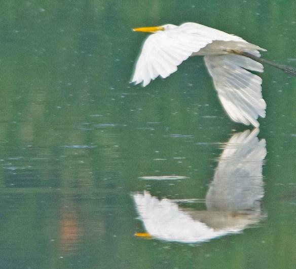 Great Egret 2019-113