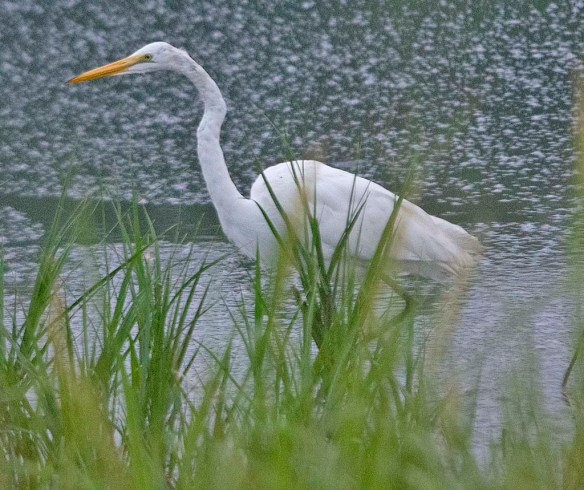 Great Egret 2019-115