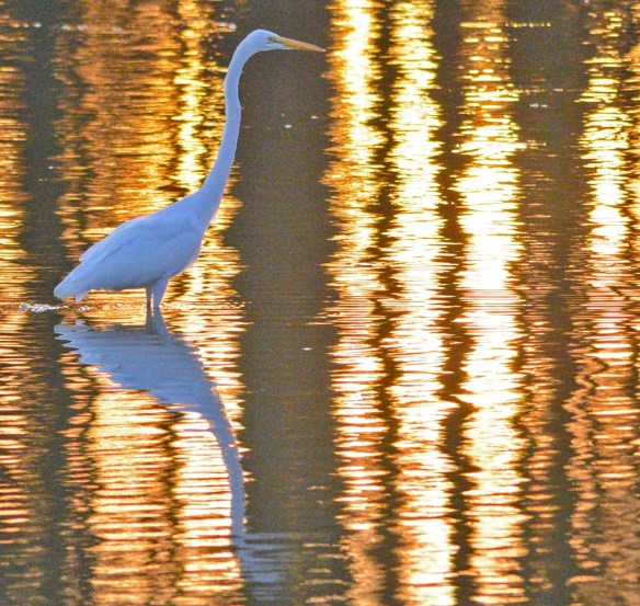 Great Egret 2019-136