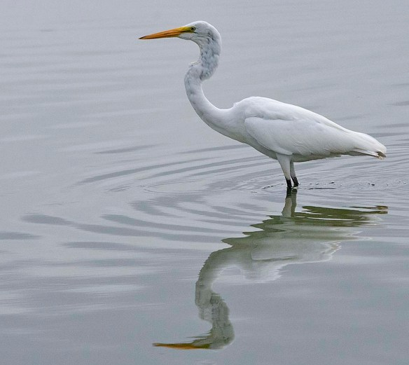 Great Egret 2019-140