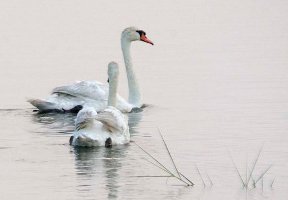 Mute Swan 2019-8