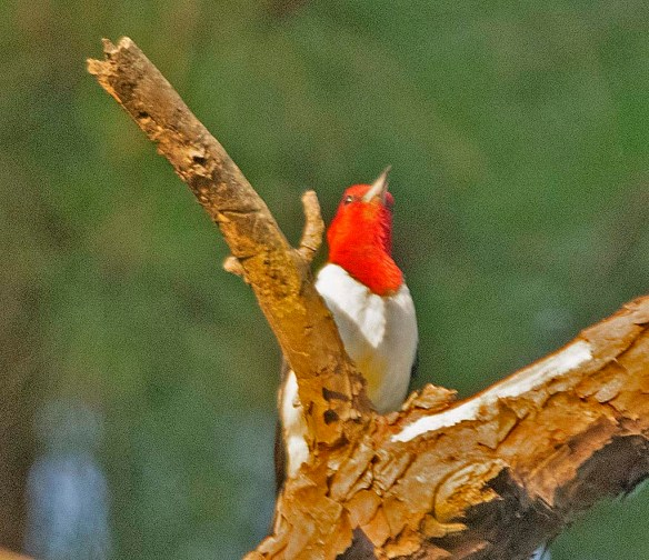 Red Headed Woodpecker 2019-25