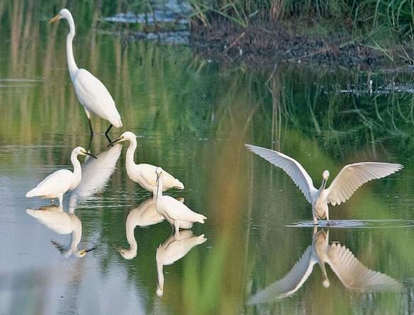 Snowy Egret 2019-108