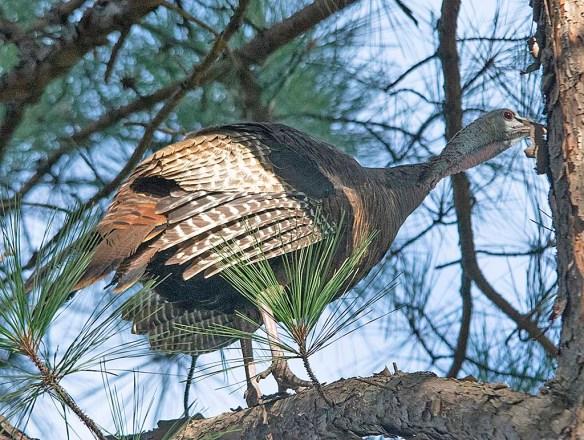 Wild Turkey 2019-48