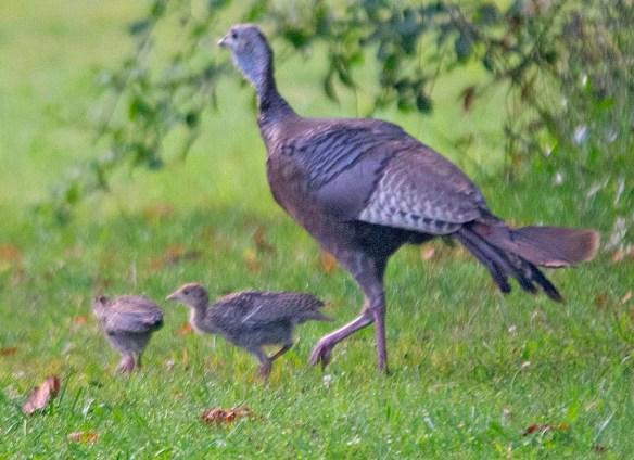 Wild Turkey 2019-54
