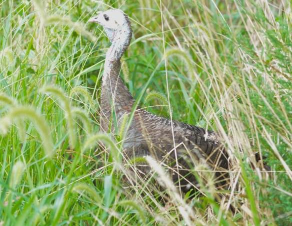 Wild Turkey 2019-65