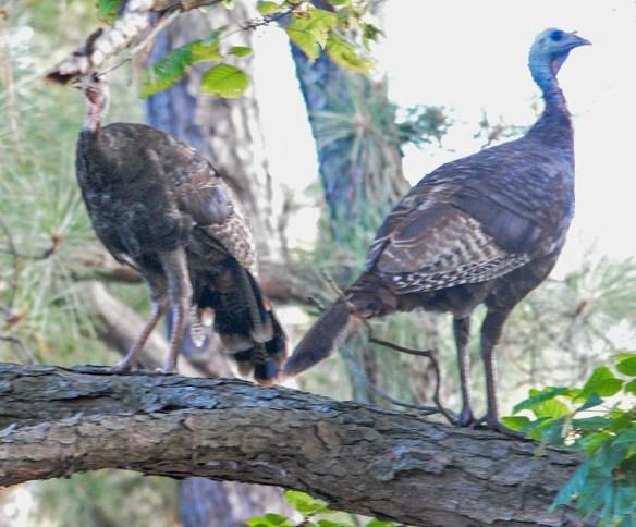 Wild Turkey 2019-66