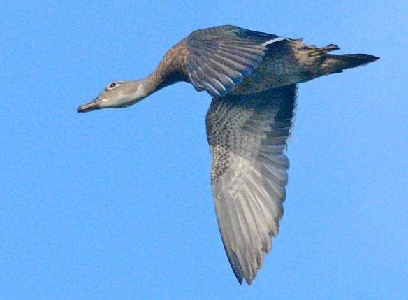 Wood Duck 2019-23