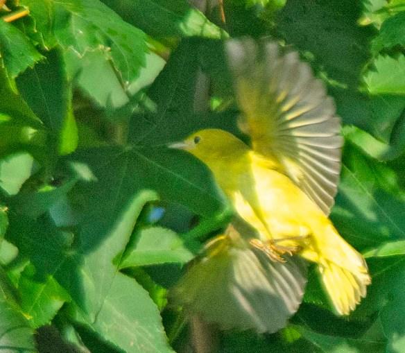 Yellow Warbler 2019-1