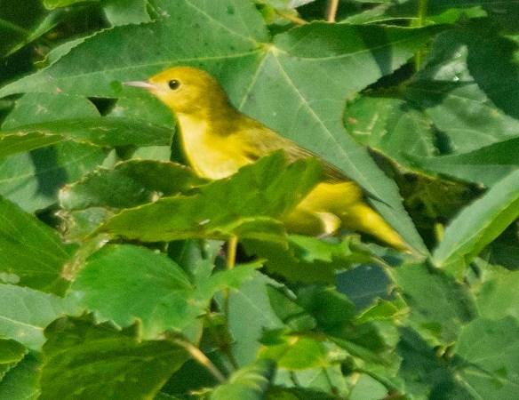 Yellow Warbler 2019-2