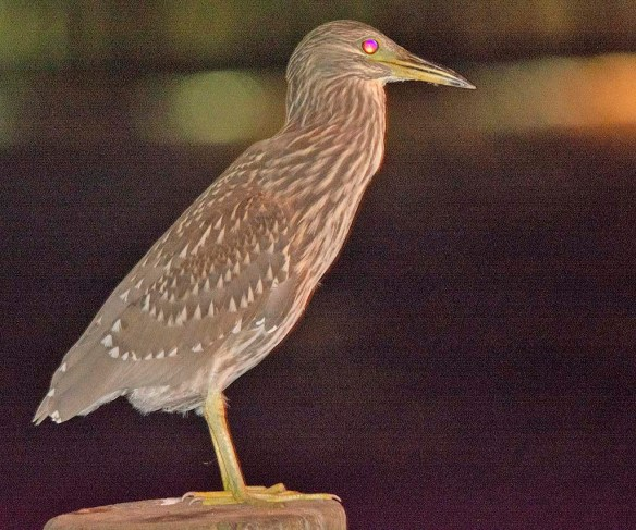 Black Crowned Night Heron 2019-21