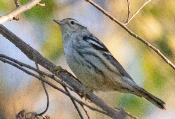 Black and White Warbler 2019-1