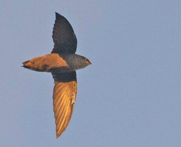 Chimney Swift 2019-2