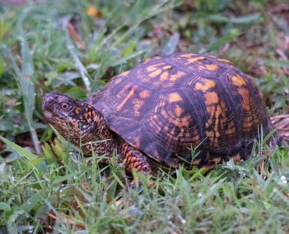 Eastern Box Turtle 15