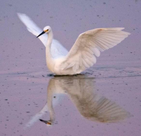 Snowy Egret 2019-114