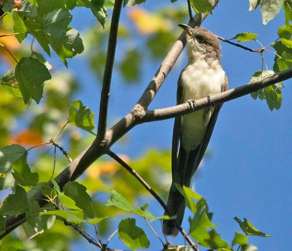 Yellow Billed Cuckoo 2019-3