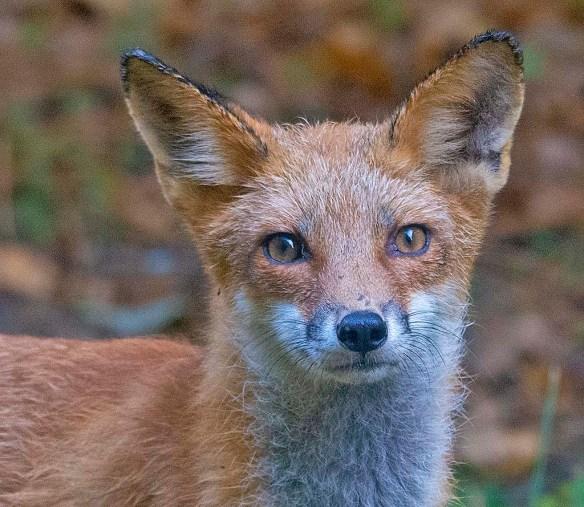 Fox 122