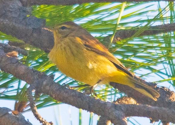 Palm Warbler 2019-2