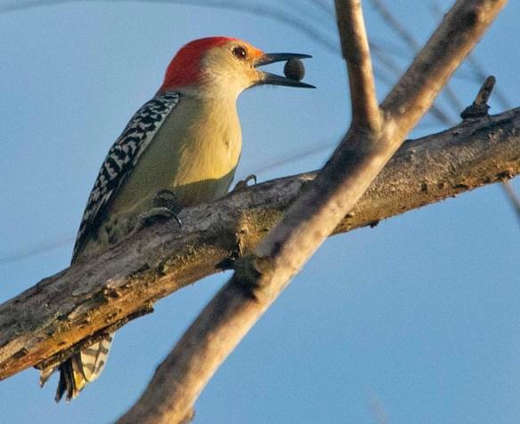 Red Bellied Woodpecker 2019-1